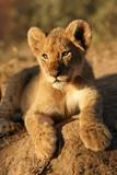 Portrait of a lion cub