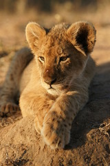 Portrait of a lion cub