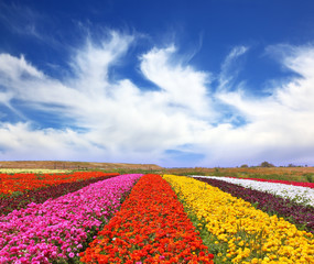 The multi-colored flower fields