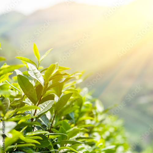 Green tea bud and leaves