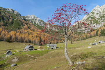 Rowan tree on mountain meadow
