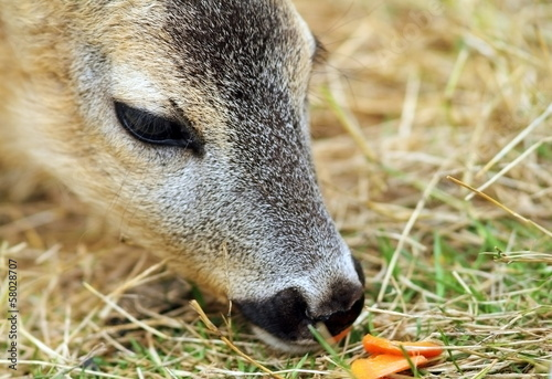 roe deer being fed with carrots