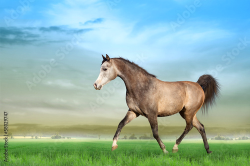 Grey Arabian horse running on a green field