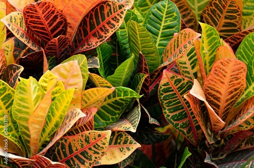 Vibrant colored Croton Plant