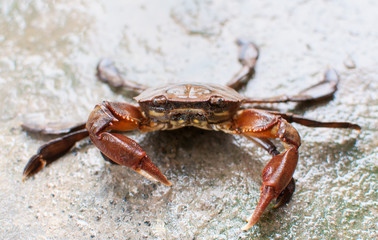 fresh water crab making a stance
