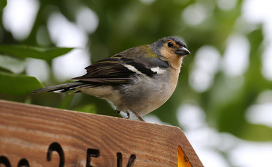 Male of a Madeiran Chaffinch - Fringilla coelebs maderensis