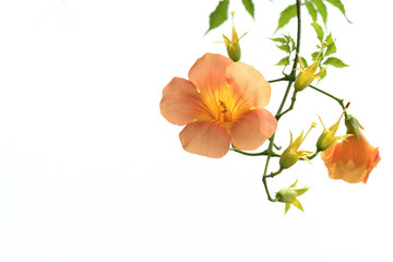 Campsis  on white background