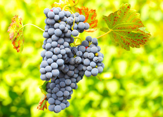 Blauer Wein vor grünem Hintergrund