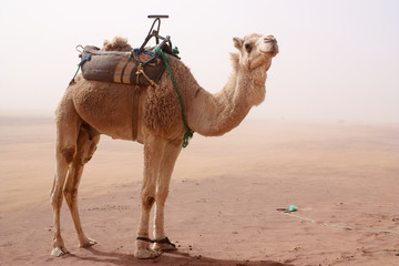 Camel with tied legs and seat standing in sand storm