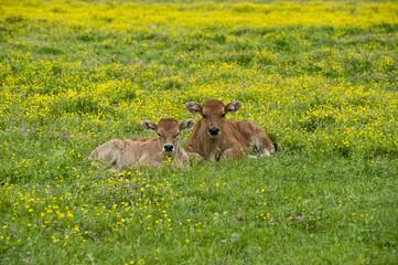 vitelli al pascolo