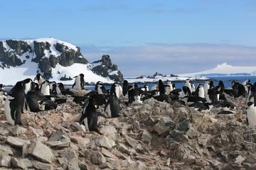 Chinstrap penguin (Pygoscelis antarctica) rookery in Antarctica