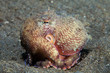 Coconut octopus (Octopus marginatus)