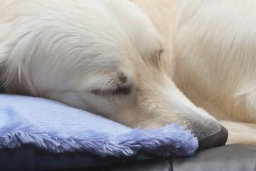 sommeil d'un chien