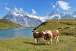 Cows in Alpine meadow. Jungfrau region, Switzerland