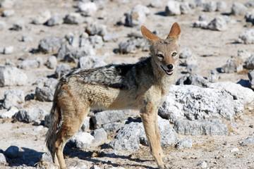 Schabrackenschakal (Canis mesomelas). Namibia