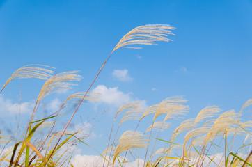 silver grass in autumn