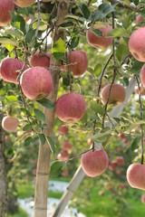 リンゴ (山形県朝日町)