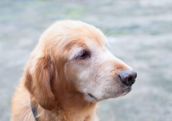 portrait of a adult golden retriever