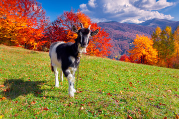 Young goat on pasture in the mountains in autumn
