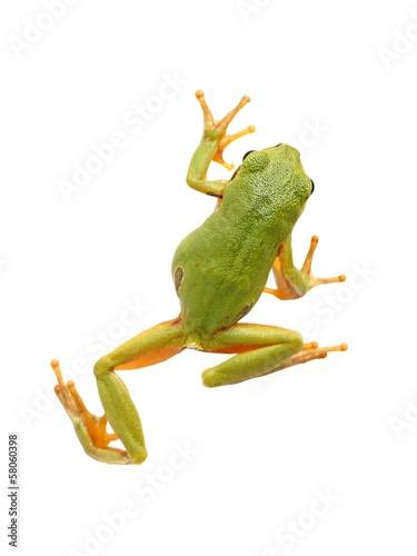 Foto op Plexiglas Kikker Tree frog (Hyla arborea)
