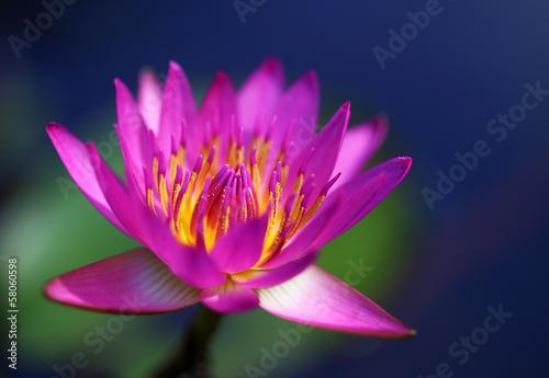 Fotobehang Water planten Pink lotus flower