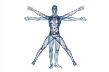 Human body of a Vitruvian man for study on white