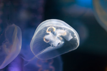 moon jelly  in   water