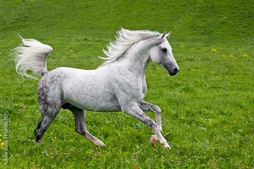 Deurstickers Paarden Gray Arab horse