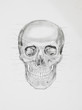 human skull. medical illustration