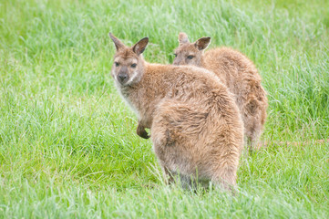 two young wallabies in a grassland environment