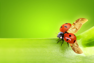 close up of a ladybug taking flight
