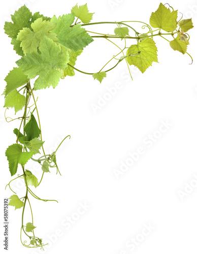 Feuilles de vigne stock photo and royalty free images on pic 58075392 - Feuille de vigne dessin ...