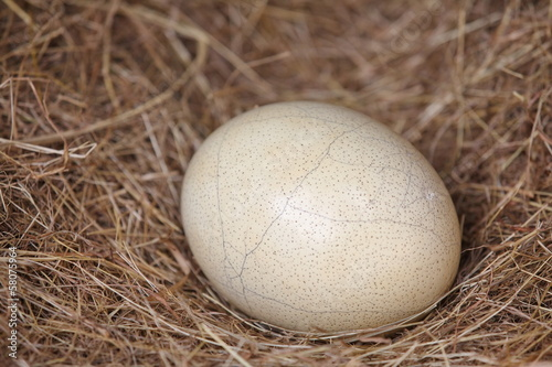 Fotobehang Struisvogel Ostrich eggs