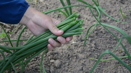 farmer hands with sheaf of young green onions in rural farm