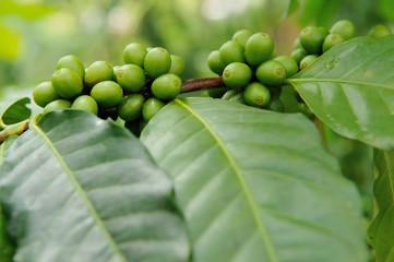 Close up coffee plants tree