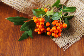 Pyracantha Firethorn orange berries with green leaves,