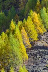Conifere in autunno