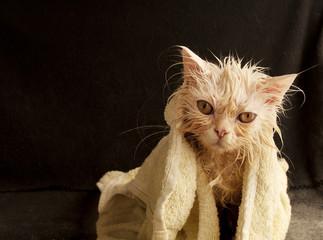 Funny wet white Persian kitten