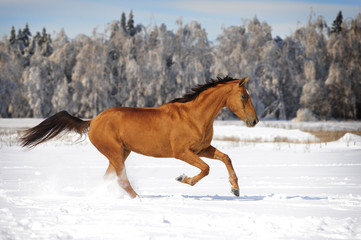 chestnut horse in winter plays