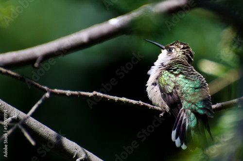 Ruffled Ruby-Throated Hummingbird Perched in a Tree