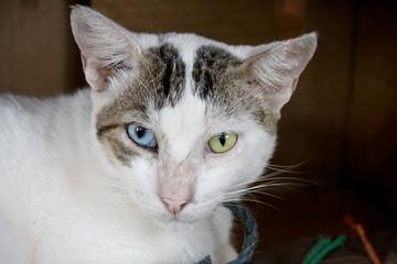 Katze mit verschiedener Iris