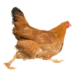 Brown hen isolated on white