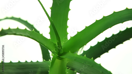 Fresh aloe vera plant leaves on white background