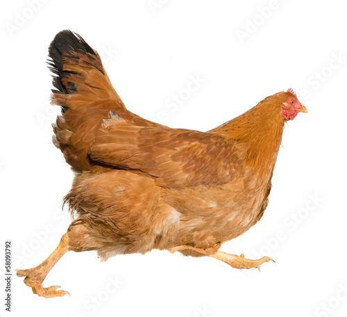 Fotobehang Kip Brown hen isolated on white