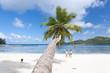 cocotier penché sur plage des Seychelles
