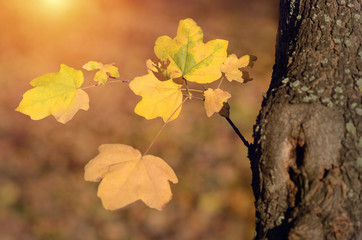 Autumn maple leaves in sunset