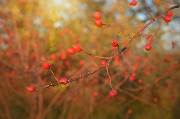 Red rose hips in sunset