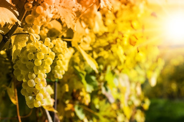 Grapes in a vineyard - detail