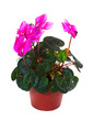 blooming cyclamen in  pot. Isolated on white