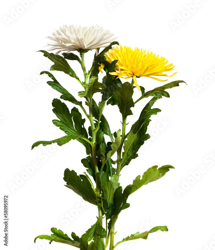Two chrysanthemums. Isolated  on white